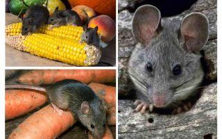 देश और साइट में चूहों से कैसे निपटें