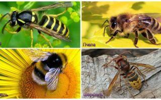 Wasp, मधुमक्खी, bumblebee, हॉर्नसेट के बीच क्या अंतर है