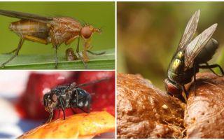 क्या मक्खियों खाते हैं
