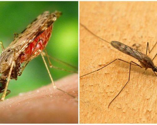 मलेरिया मच्छर क्या दिखते हैं और इंसानों के लिए कितना खतरनाक हैं