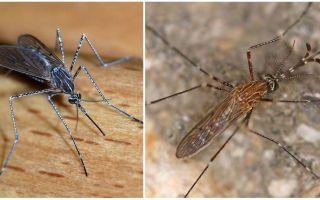 मच्छर प्रजातियों के विवरण और तस्वीरें