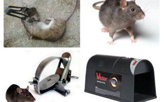 चूहों के लिए जाल
