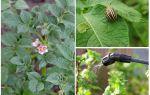 फूलों के दौरान कोलोराडो बीटल से आलू को संसाधित करना संभव है