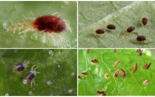विवरण और फोटो मकड़ी पतंग