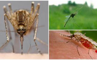 मच्छर कैसे देखते हैं और उन्हें किसी व्यक्ति को क्या आकर्षित करता है