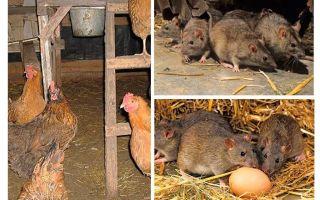 मुर्गी घर में चूहे से निपटने के लिए कैसे