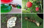 प्रकृति में क्या चींटियां खाते हैं