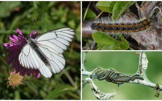 कैटरपिलर और तितली हौथर्न का विवरण और फोटो कैसे लड़ना है
