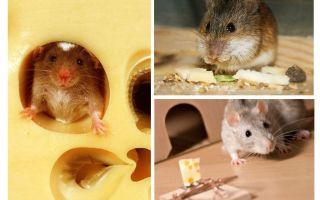 चूहों पनीर खाते हैं या नहीं