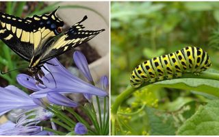 एक तितली को एक तितली में बदलना