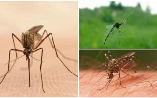 मच्छरों के बारे में दिलचस्प तथ्य