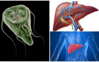 यकृत में जिआर्डिया - लक्षण और उपचार
