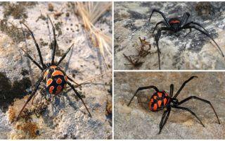 कज़ाखस्तान मकड़ियों के विवरण और तस्वीरें