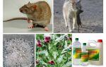 बार्न लोक उपचार से चूहे को कैसे हटाएं