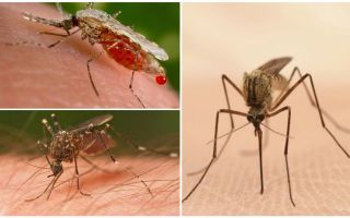 आपको सभी रक्तों को पीने के लिए कितने मच्छरों की आवश्यकता होती है