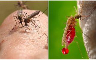 मच्छर कहाँ से आते हैं