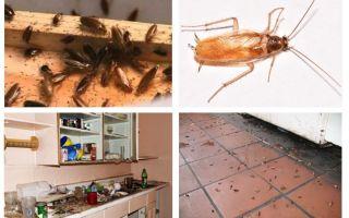 अगर आप रसोई में एक तिलचट्टा देखा तो क्या करना है