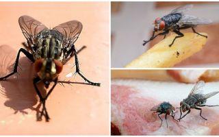 मक्खियों क्यों अपने पंजे रगड़ते हैं