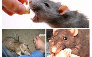 अगर चूहा थोड़ा है तो क्या करें
