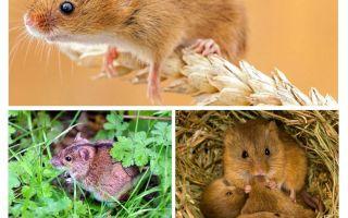 चूहों कहाँ रहते हैं