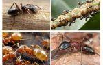 गार्डन चींटियों को नुकसान और लाभ