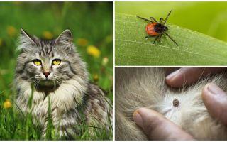 क्या करना है और बिल्ली या बिल्ली में टिक का इलाज कैसे करें