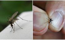 नस्ल कैसे और कितने मच्छर रहते हैं