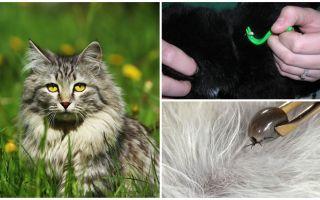 बिल्ली या बिल्ली से टिक को कैसे हटाएं