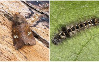 तितलियों और कैटरपिलर का विवरण और फोटो स्कूप्स कैसे लड़ता है