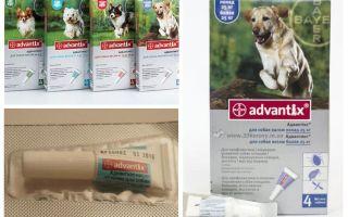 कुत्तों के लिए fleas से Advantiks ड्रॉप