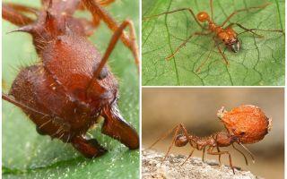 चींटियों एटा