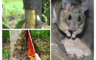सेब के पेड़ को कैसे बचाया जाए, अगर छाल ने चूहों को पकड़ लिया हो