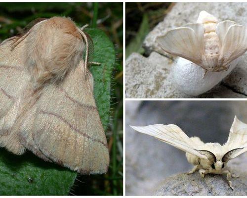 कैटरपिलर और रेशम की किस्म तितली का विवरण और फोटो
