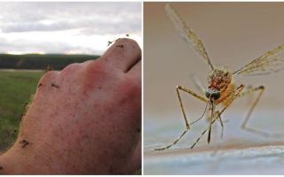 किस देश और शहरों में मच्छर नहीं हैं