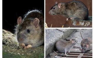 ग्रे चूहा