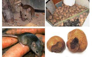 तहखाने से चूहों को कैसे प्राप्त करें