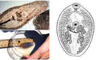 Trematodes का विवरण