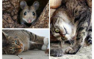बिल्लियों और बिल्लियों चूहों खाते हैं?