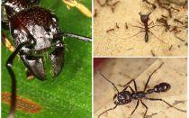 चींटियों बुलेट