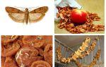 अगर तिल सूखे सेब में शुरू होता है तो क्या करें