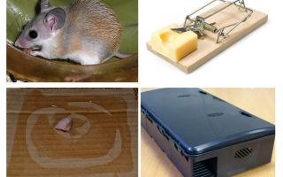 एक निजी घर से चूहों को कैसे हटाएं