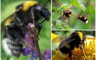 बगीचे के बम्बेबी के विवरण और तस्वीरें