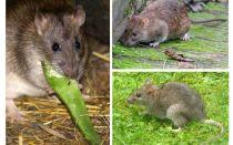 चूहों की तरह क्या दिखता है