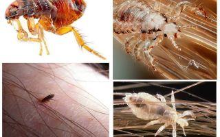 जूँ और fleas के क्या सपने