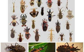 किसी भी बीमारी के Bedbugs वैक्टर