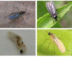 इनडोर पौधों और फूलों के बर्तनों में काले मक्खियों से छुटकारा पाने के लिए कैसे