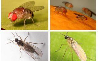 रसोई में काले मक्खियों से छुटकारा पाने के लिए कैसे