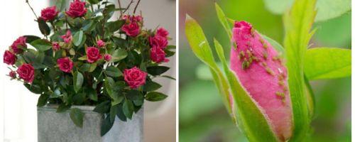 गुलाब पर एफीड्स - कैसे संभालें और कैसे छुटकारा पाएं