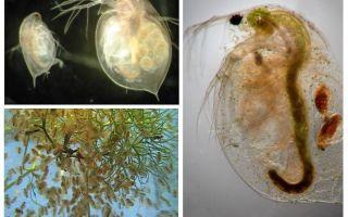 मछलीघर में पानी fleas