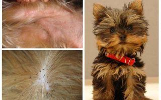 यॉर्कशायर टेरियर से fleas को कैसे हटाएं